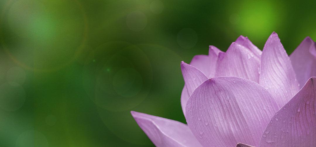 Purple Flower - Lotus