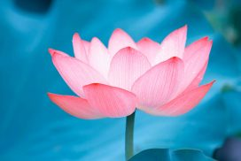 Lotus Flower - Live Your Abundant Life