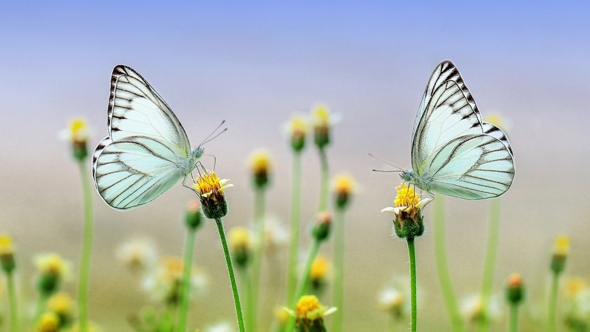 natural butterfly